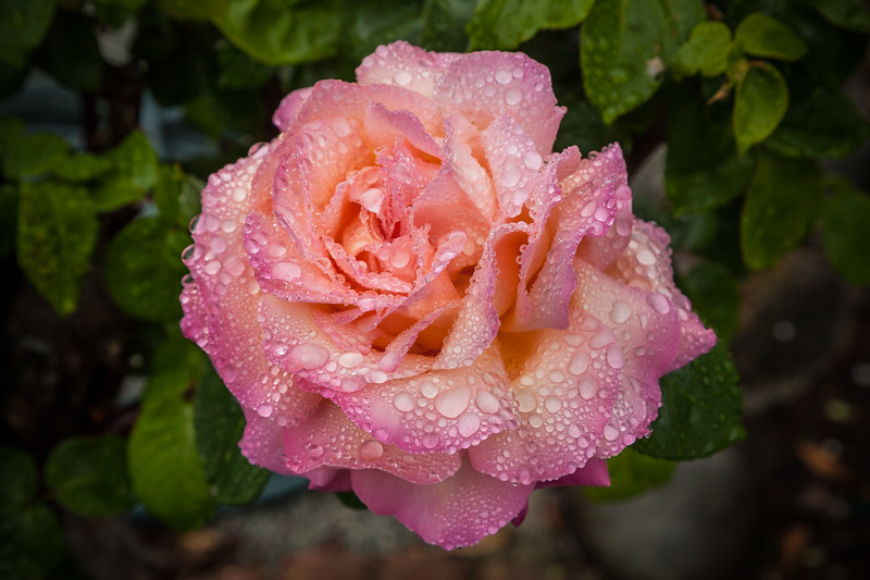 Raindrops on Roses 7
