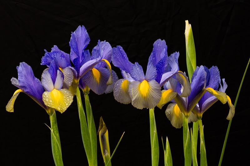 Wet Iris Petals 1