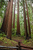 Redwood Trees of Henry Cowell 1
