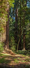 Redwood Trees of Henry Cowell 3