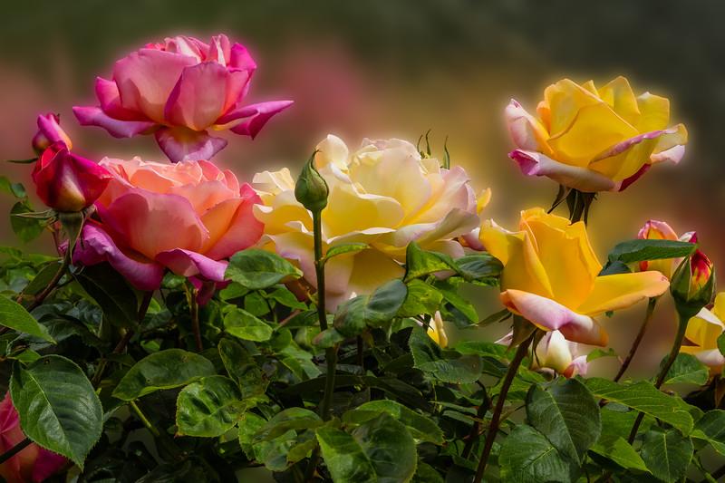 Rose Reflection 1