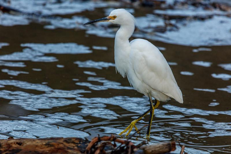Snowy Egret 6
