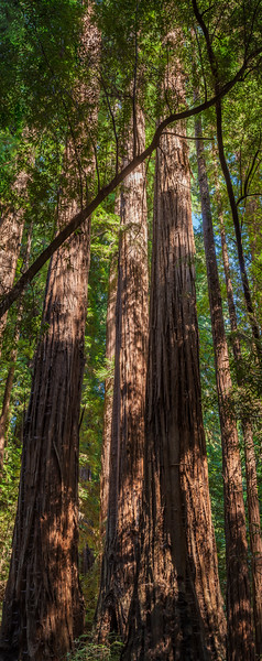 Redwood Trees of Henry Cowell 4