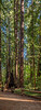 Redwood Trees of Henry Cowell 5