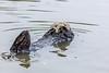 Moss Landing Otter 2