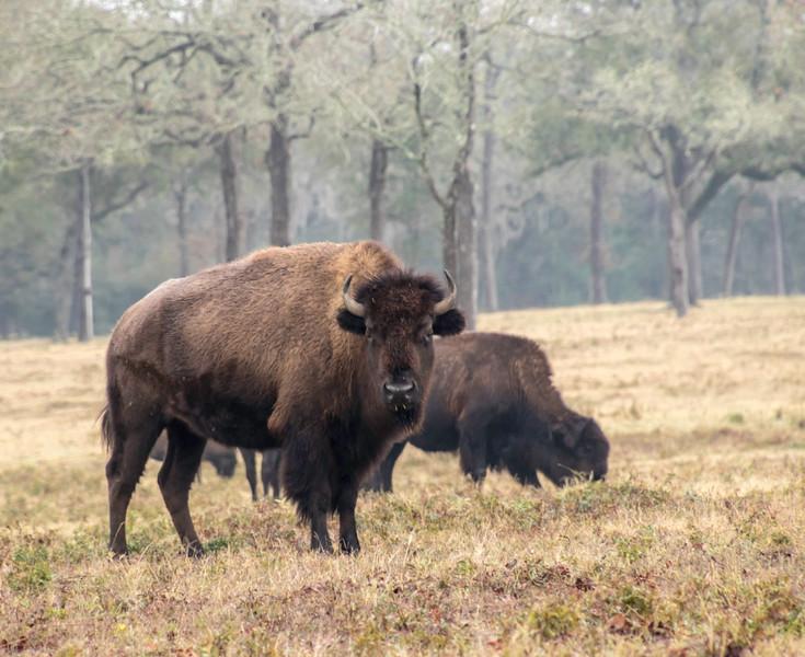 Buffalo watching you on a foggy day