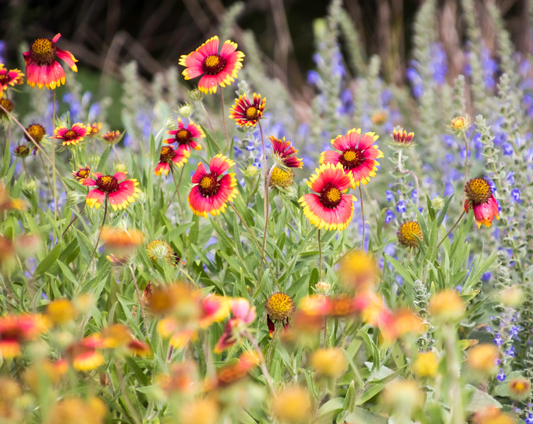 Colorful Spring wildflowers in Texas