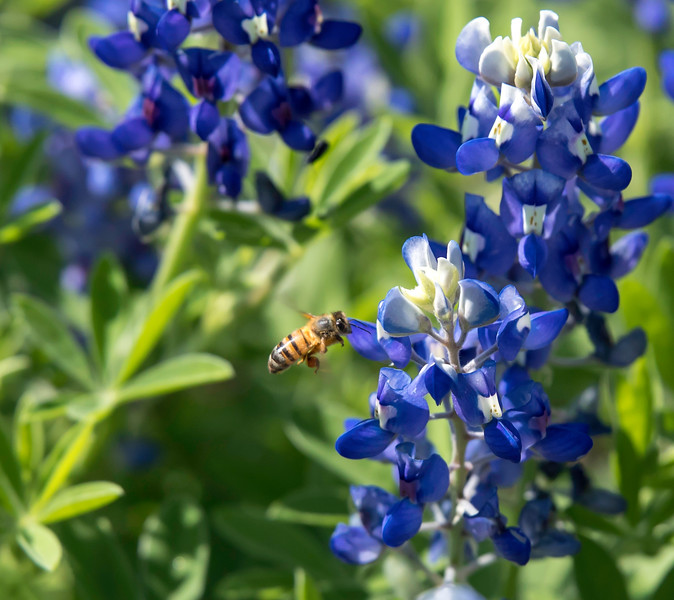 Bee flying by a Texas Bluebonnet