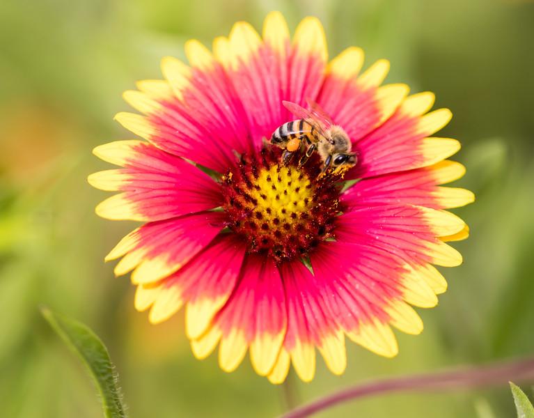 Bee covered in pollen on Indian Blanket wildflower