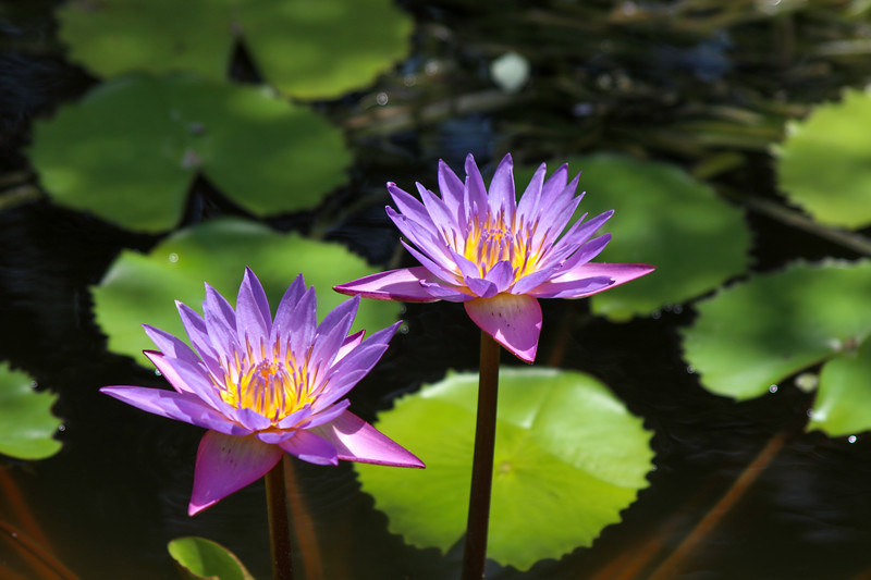 Purple waterlillies in sunshine