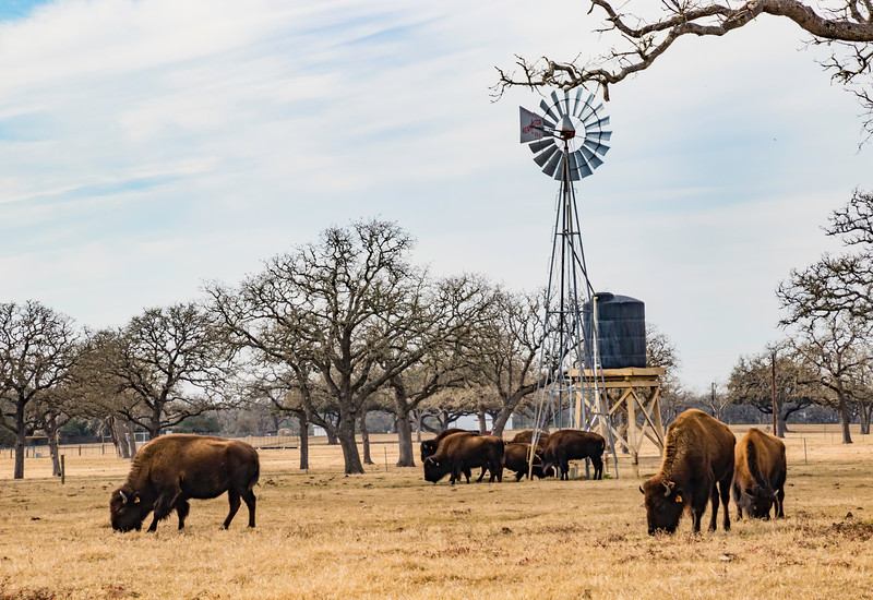 Buffalo feeding by the windmill