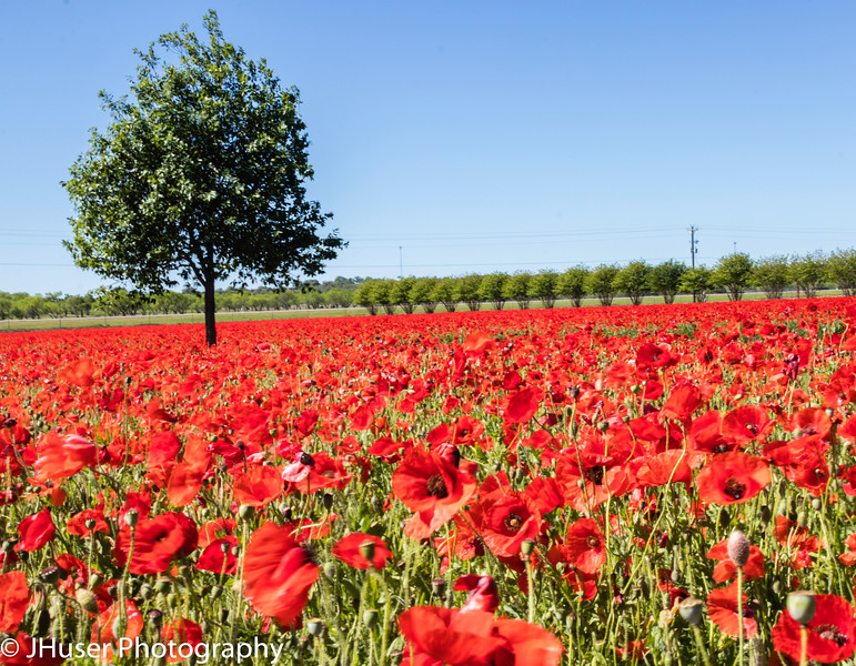 Red Poppies fields facing the sun
