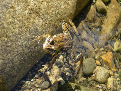Our local frog Camping along Hwy 12 Idaho