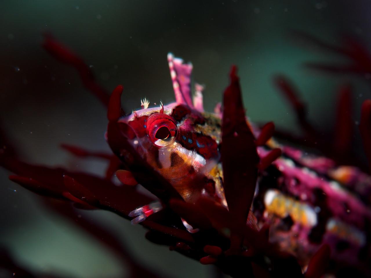 Crevice Kelpfish