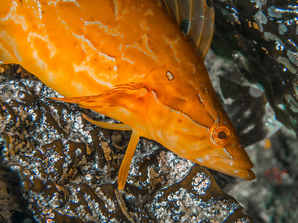 Giant Kelpfish (Heterostichus rostratus)