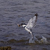 Belted Kingfisher flying out with fish.