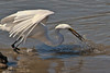 Great Egret catches fish.