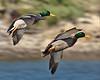 Two Mallards in flight.