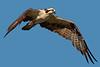 Osprey in flight.