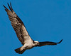 Osprey fishing over Toddville Rd. Bay.