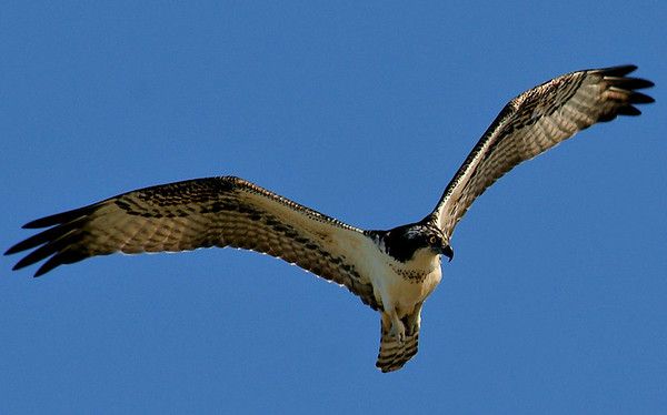 Osprey Hunting at Seabrook on 102809
