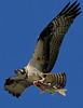 DSC00522C_OspreyFish_Kpr