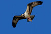 DSC00514_OspreyFishB2_Kpr