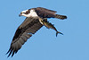 6% crop of Osprey with Spanish Mackerel shot on 120910.  Post-processed on 121515.