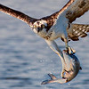 Osprey after just catching fish from the little bay in Seabrook between Hwy 146 and Todville Rd.
