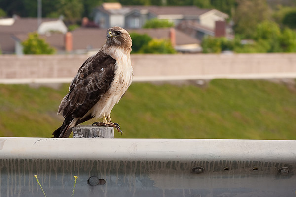 Freeway Hawk