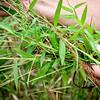 Stiltgrass -- very invasive, remove