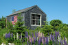 Lupine, Cape Porpoise