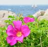 Sea roses, Ocean Avenue