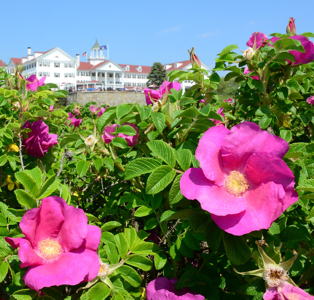 Sea roses, The Colony Hotel