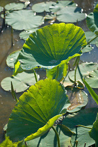 Kennilworth lilly pads 2