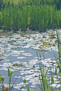 Kennilworth lilly pads
