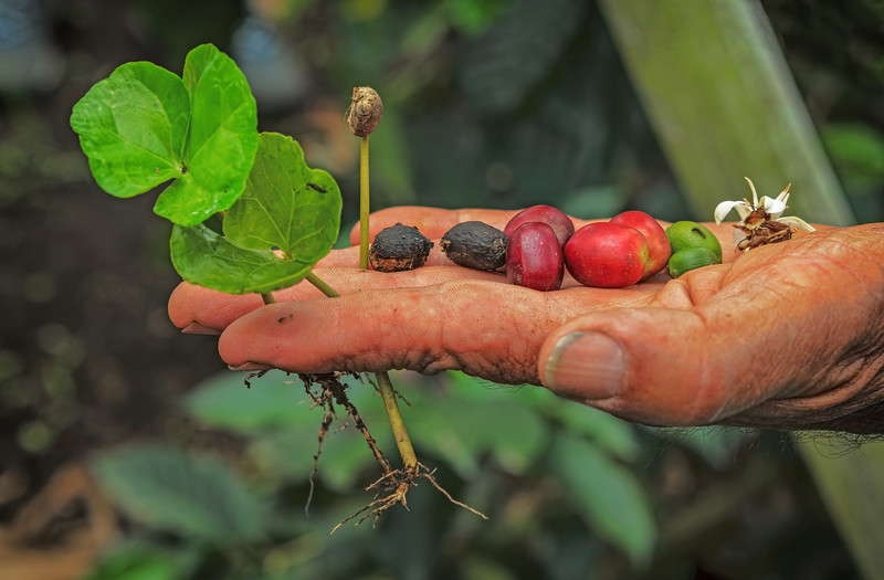 Stages of a Coffee Plant