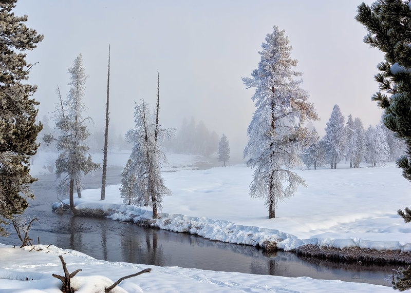 Trees Along the Firehole River