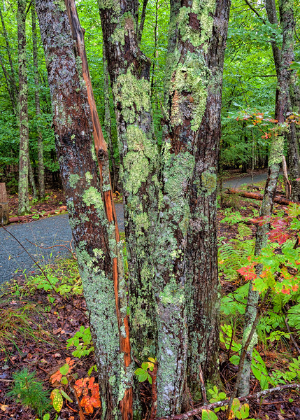 Lichen Encrusted Trees