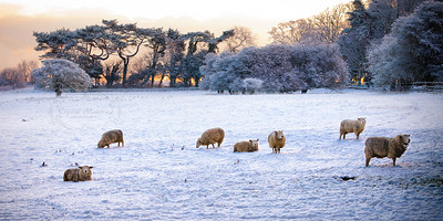 Frozen Sheep at Walmer Castle