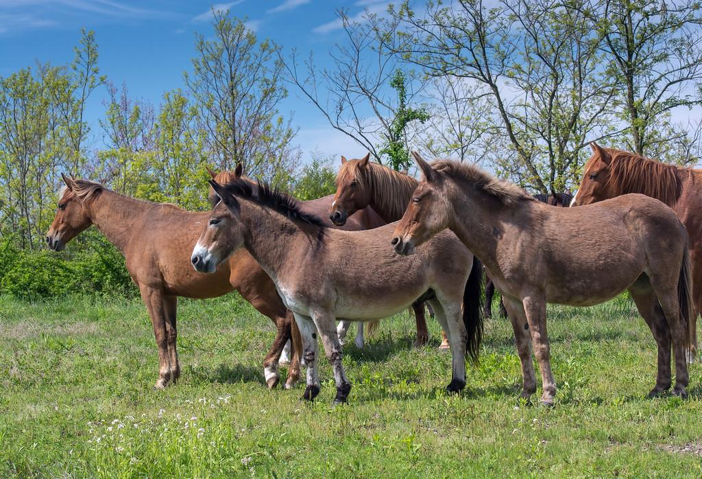 Mules, Donkeys and Horses, ElkView band 1