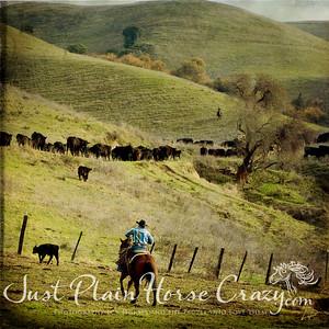 The Straggler. Herding Cattle. Milpitas, CA. January 2011.