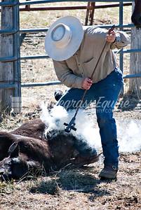 Branding Cattle Milpitas, CA. April 2010