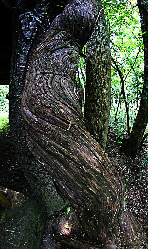 Extremely large woody vine