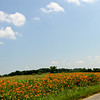 Tiger Lilies line this country road