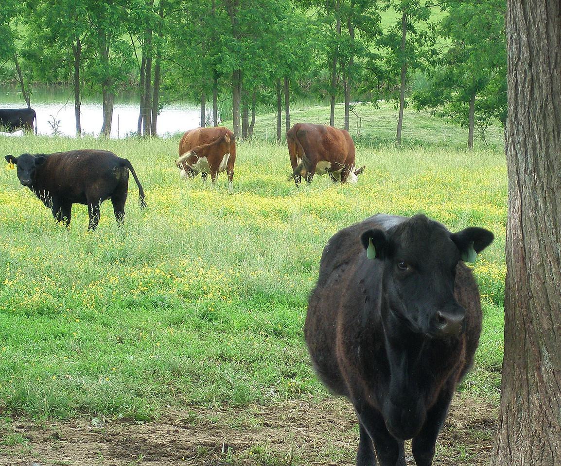 Farm life.<br /> Taylor County, KY.<br /> USA
