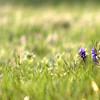 Grape Hyacinth, Louisville, Kentucky, Spring 2012
