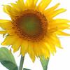 Sunflower - simple beauty
