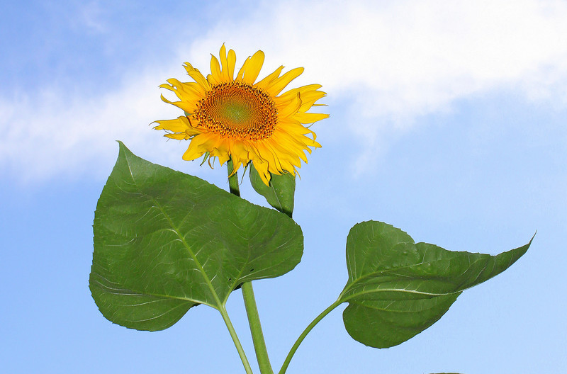 """I think this Sunflower is praising the Lord<br /> """"Amen..."""""""