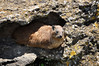 I'm not sure.  My book says Southern Africa tree squirrel.  But he was in rocks!